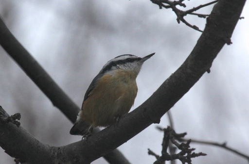 One of the two Red-breasted Nuthatches wintering at the feeding station on Old Dam Road.