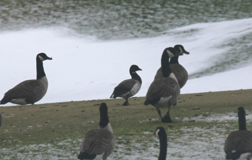 Brant among Canada Geese on the Pine Creek Golf Course.