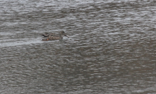 Northern Shoveler at Ash Creek