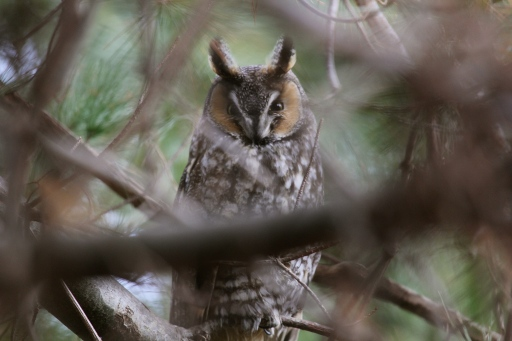 Long-eared Owl, my first since January 2011.