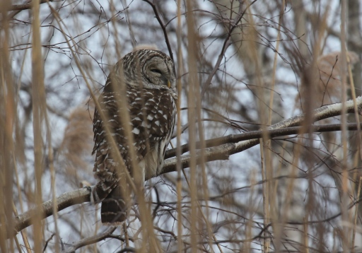 Barred Owl, Fairfield, CT