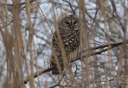 Barred Owl enjoying its wintering abode at Pine Creek.