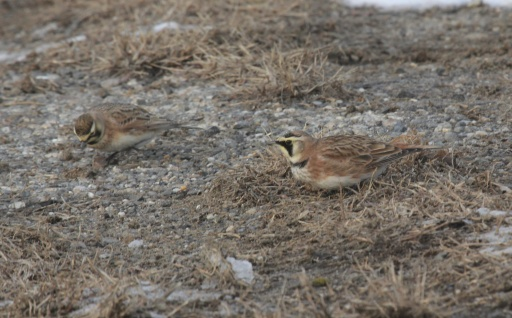 Horned Larks, a long-awaited first for me in Fairfield.
