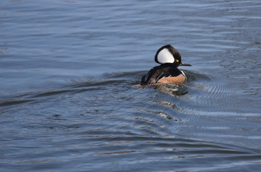One of many Hooded Mergansers at the same location.
