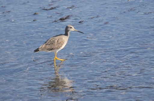 Greater Yellowlegs, quite uncommon in Fairfield in the wintertime.