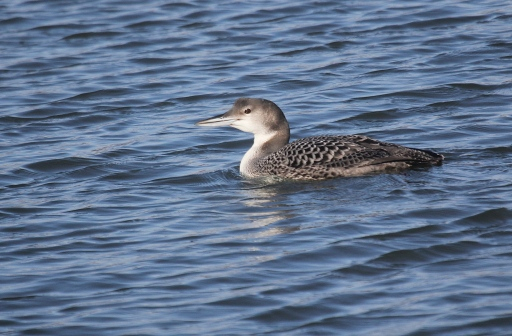 Common Loon that I watched swim into Ash Creek from Long Island Sound.