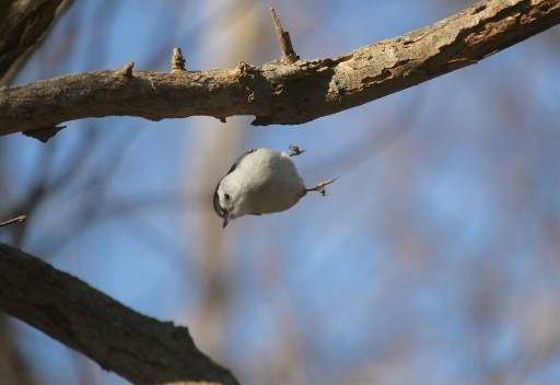 White-breasted Nuthatch performing his acrobatics.