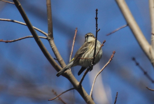 Yellow-rumped Warbler, my first of the year.