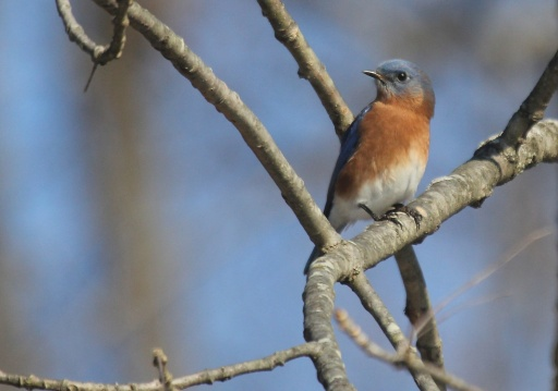 Eastern Bluebird at Deer Meadow.