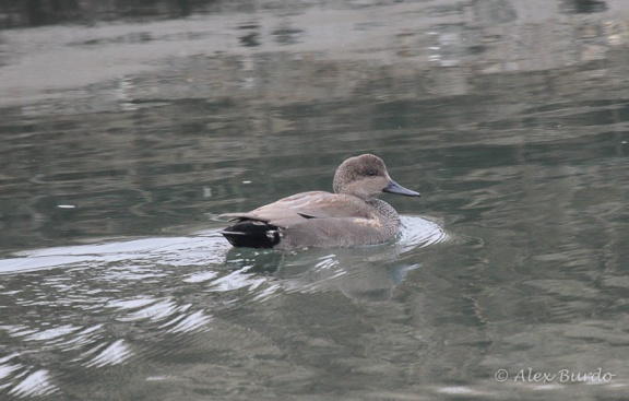 Gadwall, Burying Hill Beach, CT