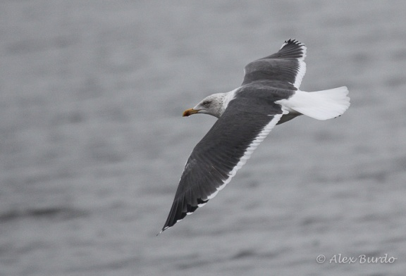 Lesser Black-backed Gull, Burying Hill Beach, CT