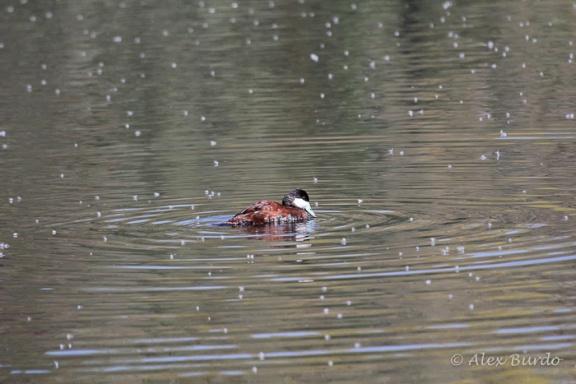 Ruddy Duck, Sweetwater Wetlands, AZ