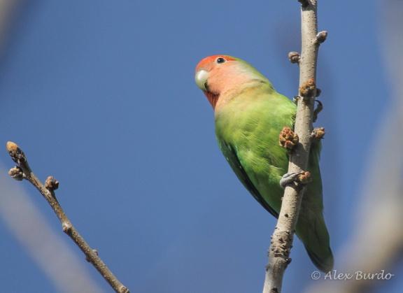 Rosy-faced Lovebird, Encanto Park, AZ