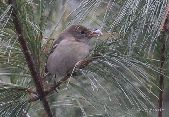 Pine Warbler, Hemlock Reservoir, CT